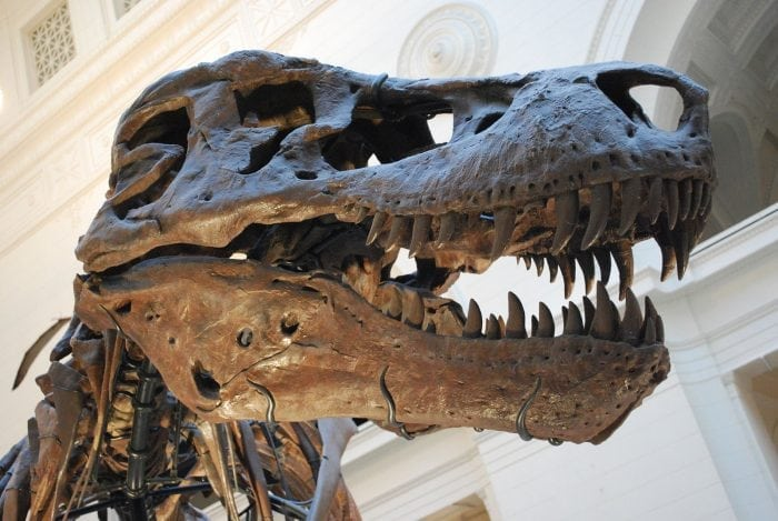 Sue, the most complete T. rex fossil. Credit: Wikipedia