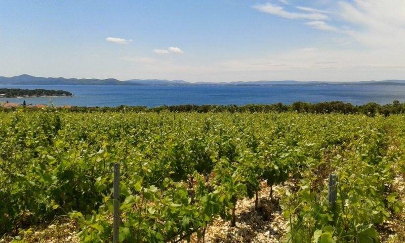 Vineyard on the Croatian Coast