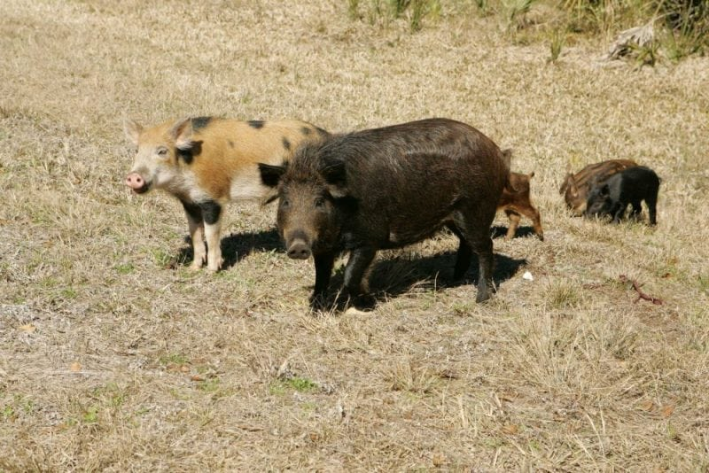 A family of feral pigs. Image from www.en.wikipedia.org/wiki/Feral_pig