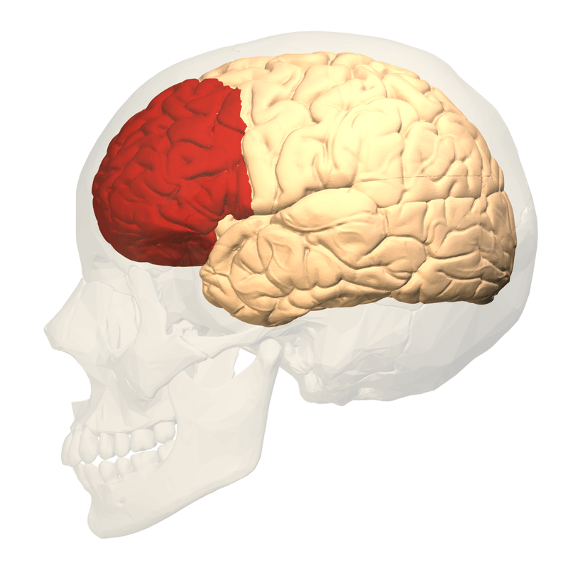 The Prefrontal cortex contains regions thoughts to be responsible for social interaction. Photo: By Polygon data were generated by Database Center for Life Science(DBCLS)[2]. - Polygon data are from BodyParts3D[1], CC BY-SA 2.1 jp, https://commons.wikimedia.org/w/index.php?curid=32490636