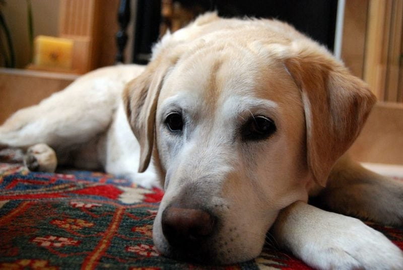 A Labrador retriever. One of the most popular dog breeds in the United States. Image from Wikipedia