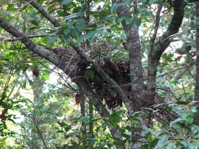 The night nest of a gorilla in a tree. Image from Wikipedia.
