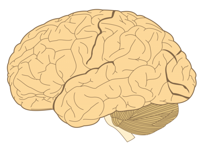 Cerebrum: Function Of The Largest Part Of The Human Brain ...