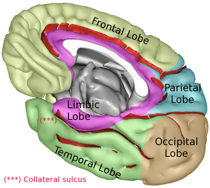 Cerebrum Function Of The Largest Part Of The Human Brain Science