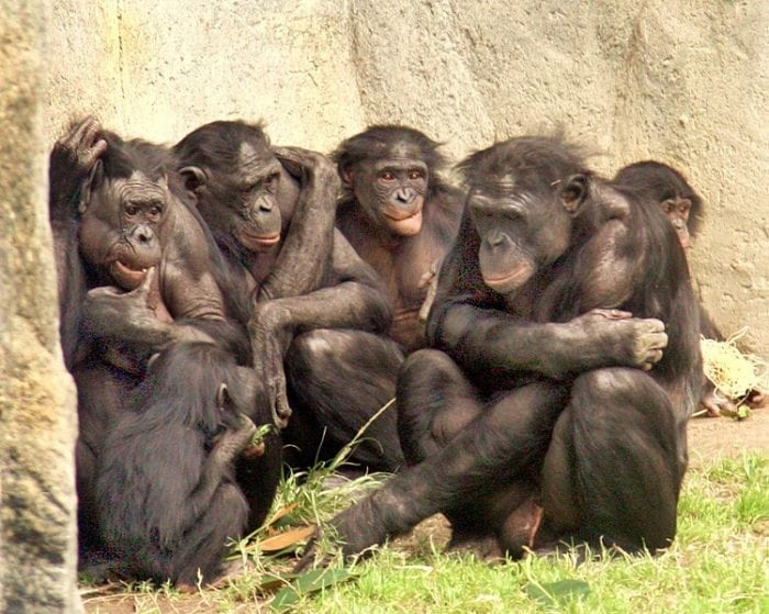 """Bonobos are very social."" (https://en.wikipedia.org/wiki/Bonobo#/media/File:6_bonobos_WHCalvin_IMG_1341.jpg) by Wcalvin at English Wikipedia, via Wikimedia Commons, CC-BY SA 4.0 https://creativecommons.org/licenses/by-sa/4.0"