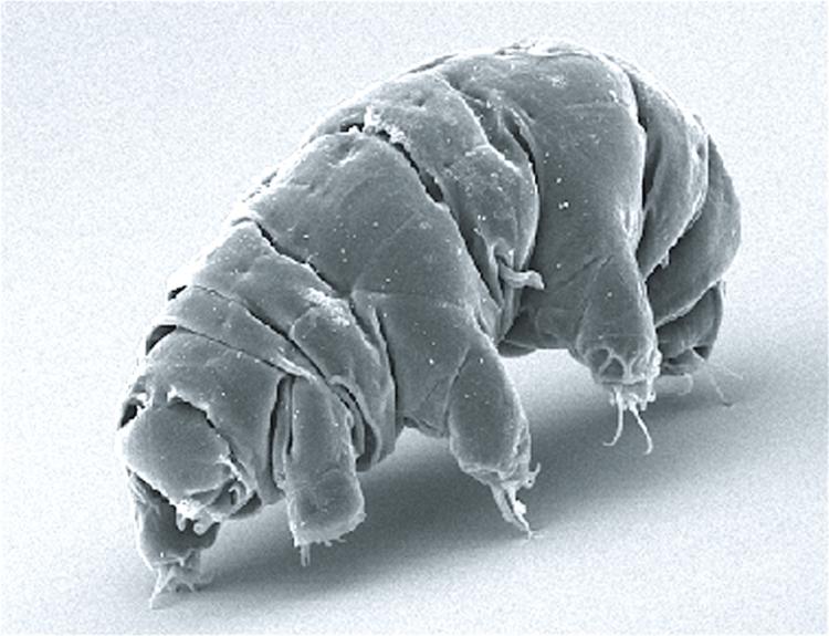 """SEM image of Milnesium tardigradum in active state"" (https://commons.wikimedia.org/wiki/File:SEM_image_of_Milnesium_tardigradum_in_active_state_-_journal.pone.0045682.g001-2.png) by Schokraie E, Warnken U, Hotz-Wagenblatt A, Grohme MA, Hengherr S, et al. (2012) via Wikimedia Commons is licensed under CC-BY 2.5 (https://creativecommons.org/licenses/by/2.5/deed.en)"