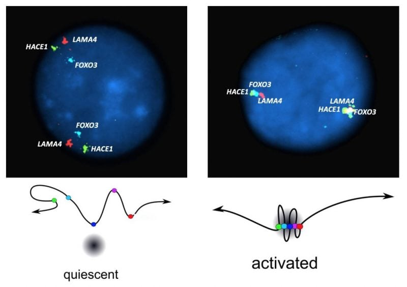 Fluorescent in situ hybridization of quiescent (left) and stressed (right) human lymphoblastoid cell lines, showing movement of FOXO3 (blue) towards the two distant genes, HACE1 (green) and LAMA4 (red). This results in the formation of a tight transcription complex, as depicted in the diagrams below each image. (Credit: Brian J. Morris)