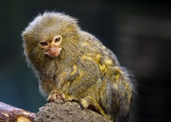 Pygmy marmoset by Petr Kratochvil via Public Domain Pictures is licensed under CC0