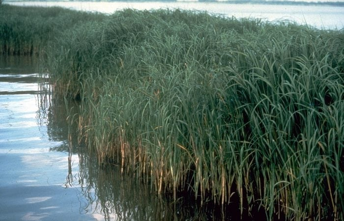 Invasive common reeds (Credit: Wikipedia)