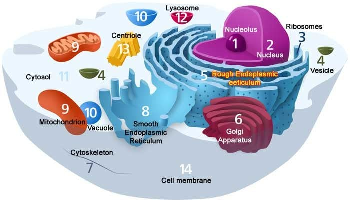 Difference Between Plant And Animal Cells Science Trends