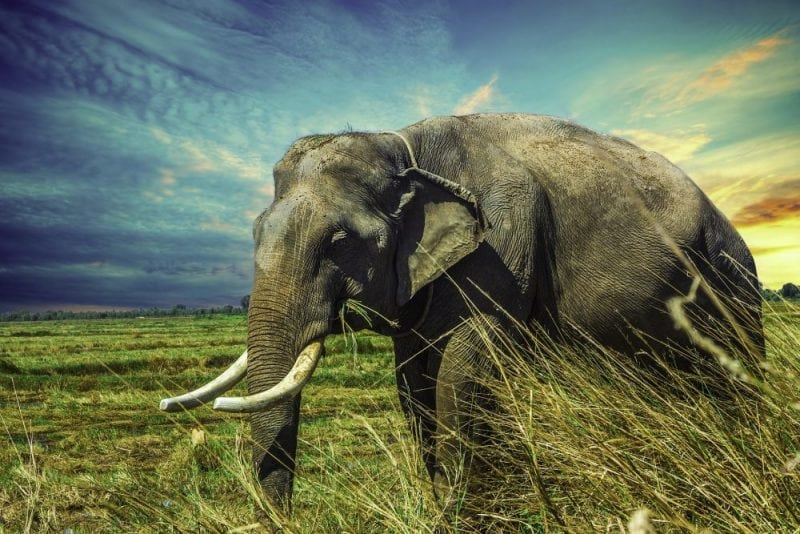 Elephants are one of the main targets of ivory poachers. Credit: Pixabay