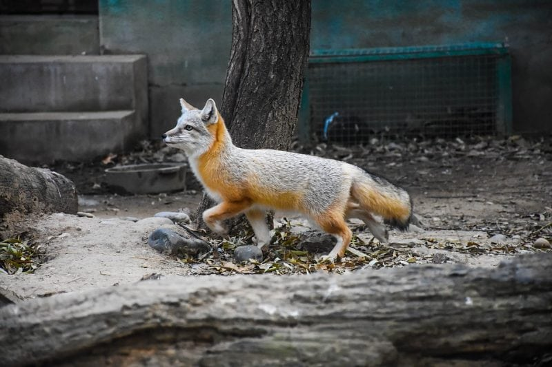 Foxes are omnivores, so they are capable of eating a number of different things to sustain themselves. Photo:  lamosi via Pixabay