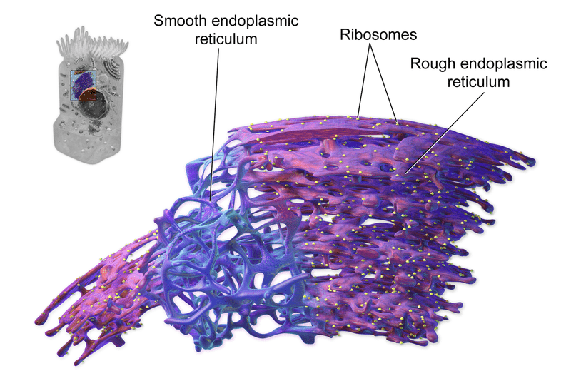 """The endoplasmic reticulum comes in two forms: smooth and rough. Photo: Blausen.com staff (2014). """"Medical gallery of Blausen Medical 2014"""". WikiJournal of Medicine. Image licensed under CC-BY 3.0 https://creativecommons.org/licenses/by/3.0/deed.en"""