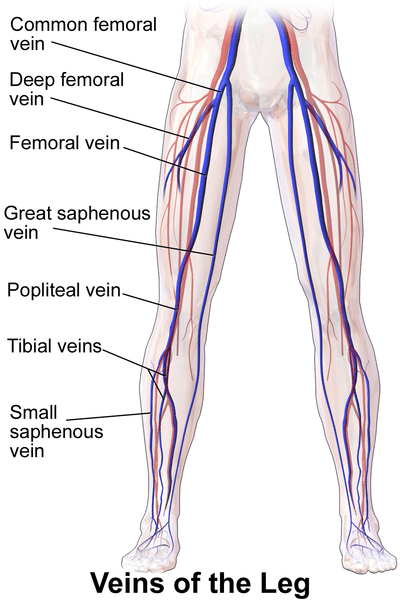 Can You Name The Parts Of A Human Leg Science Trends