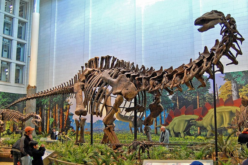 The newly discovered dinosaur is a sauropod, much like this Apatosaurus louisae at the Carnegie Museum. Photo: Tadek Kurpask via Wikimedia Commons