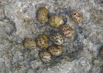 """""""Nerita versicolor (four-toothed nerite snails) Bahamas"""" by James St. John (via Wikimedia Commons) is licensed under the  Creative Commons Attribution 2.0 Generic license."""