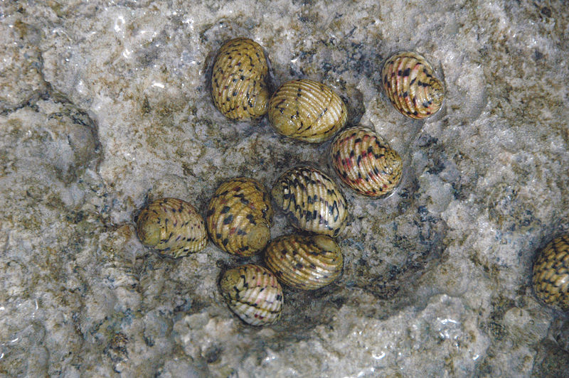 """Nerita versicolor (four-toothed nerite snails) Bahamas"" by James St. John (via Wikimedia Commons) is licensed under the  Creative Commons Attribution 2.0 Generic license."