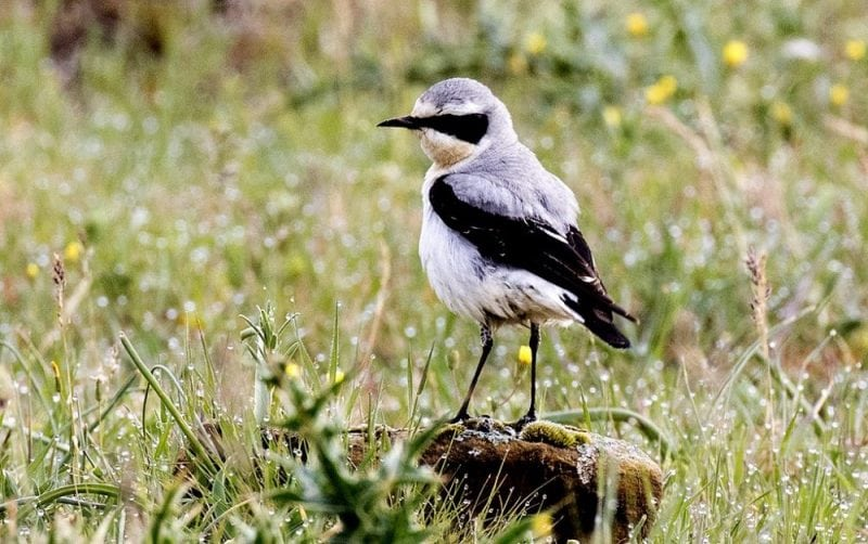 A Northern Wheatear (Credit: Wikipedia)
