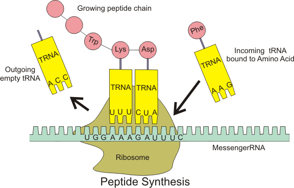 Peptide_syn 1 the function of ribosomes science trends