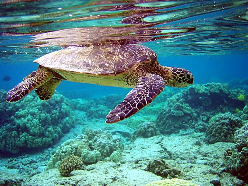 A population of Green Sea Turtles, like this one, has hatched almost no males during the last hatching cycle. Photo: Brocken Inaglory via Wikimedia