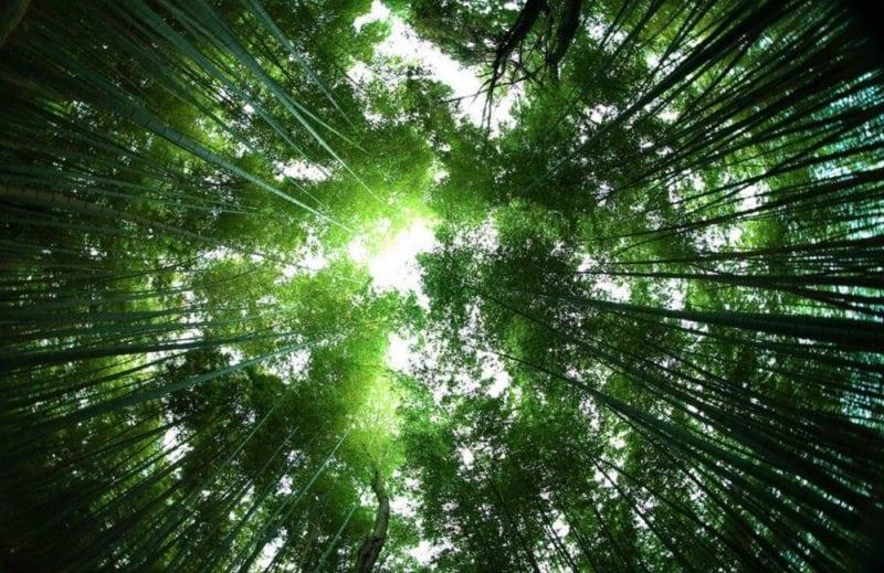 Bamboo forest (Credit: Evgueni Tchijevski / Flickr)