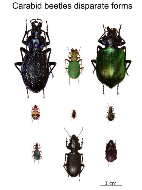 Fig. 1. Examples of disparity in body size and shape of carabid beetles living in the Padana Plain. Credit: Andrea Cardini