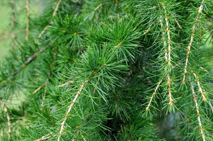 Redwood Vs Cedar >> Types Of Cedar Trees: Eastern Red Vs. Western Red ...