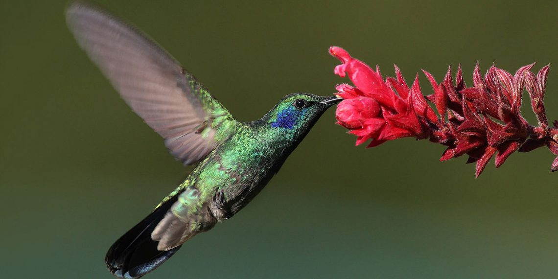 """""""Lesser violetear at a flower"""" by Mdf via Wikimedia Commons is licensed under CC BY-SA 3.0"""