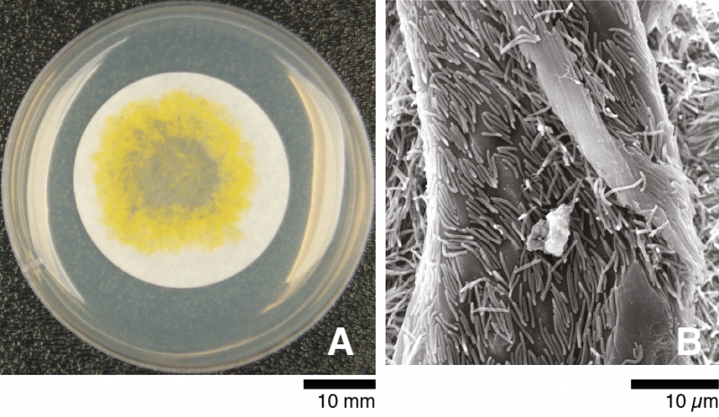 Cells of C. hutchinsonii growing on and digesting cellulose filter paper. (A) A spreading colony of C. hutchinsonii on filter paper. Clear zone in the center indicates complete digestion of cellulose. Cells were grown on Stanier agar with filter paper as sole carbon and energy source for 10 days at 25 oC. (B) Scanning electron micrograph of C. hutchinsonii cells digesting filter paper. Image source: Figure legend: From Zhu, Y. & McBride, M.J. Appl Microbiol Biotechnol (2017)