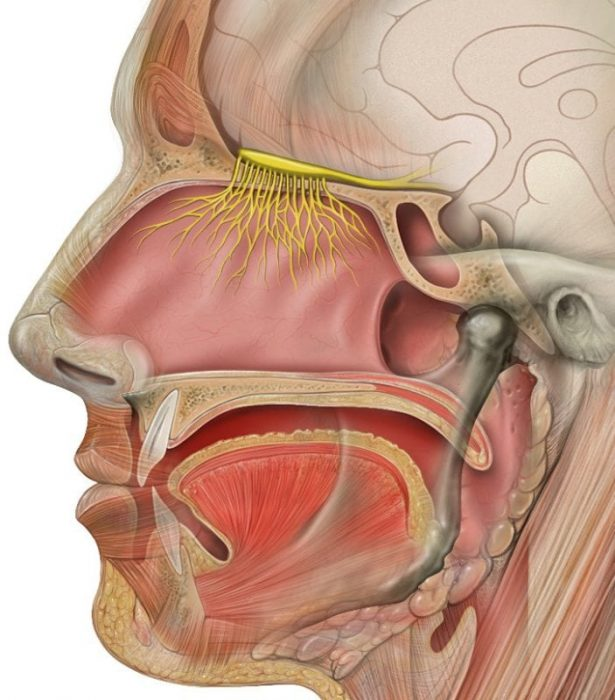 All 12 Cranial Nerves And Their Function Science Trends