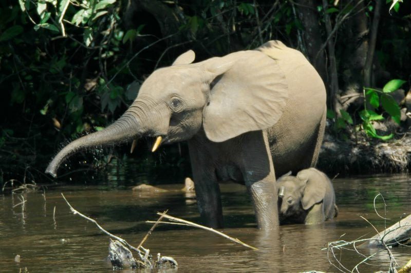 a third species of elephant has been discovered right in front of