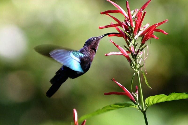 Some plants are pollinated by hummingbirds through mutualism, a form of symbiosis. Photo: Charlesjsharp via Wikimedia Commons, image licensed under CC-BY 3.0 https://creativecommons.org/licenses/by/3.0/deed.en