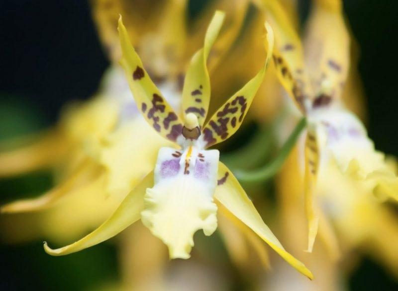 A blooming Orchid (publicdomainpictures.net)