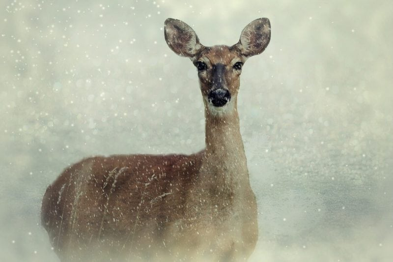 Abiotic factors are things like wind and snow, while biotic factors are animals, such as deer. Photo: cocoparisienne via Pixabay