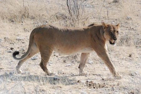 Wildlife Guides Stumble Upon Rare White Lion in South Africa