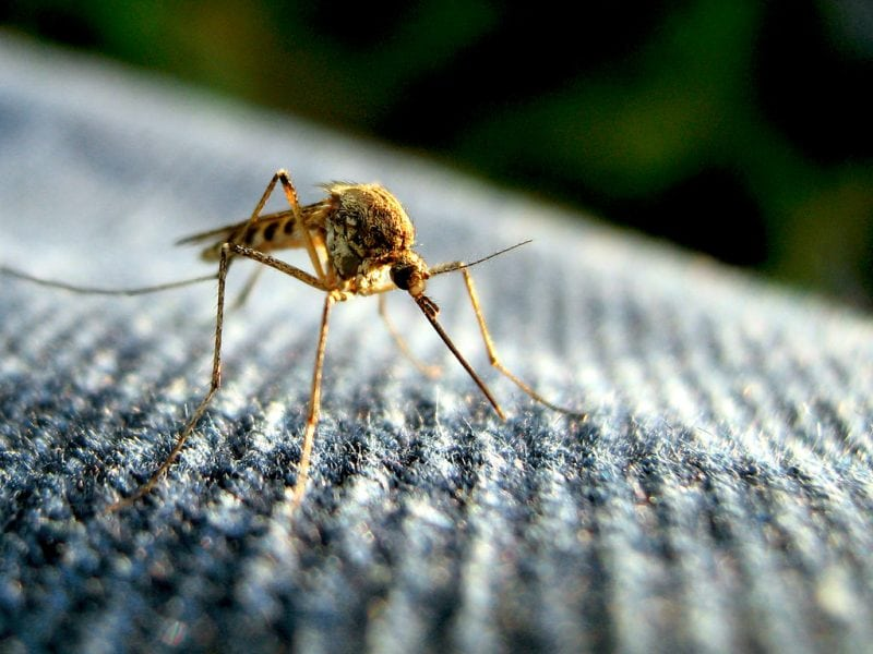"""""""Mosquito"""" by Tom via Flickr is licensed under CC BY 2.0"""