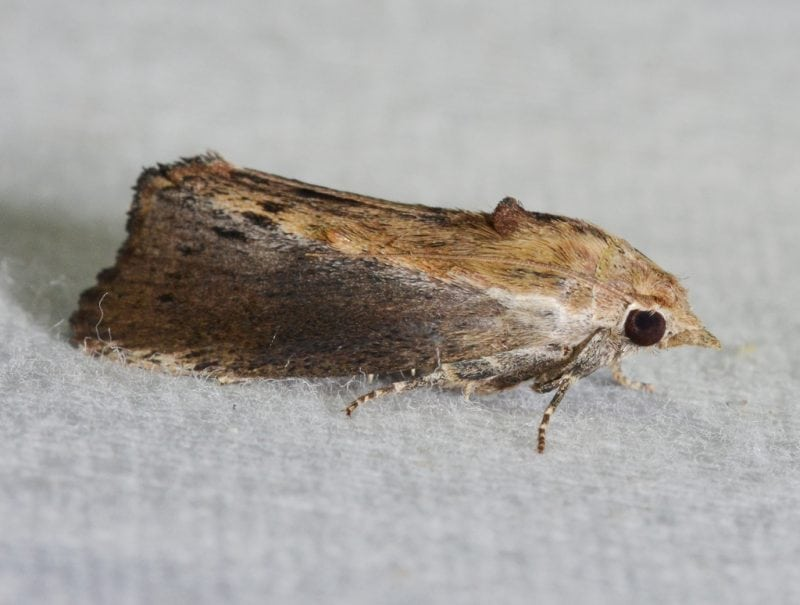"""Fig 1. Picture of a Galleria mellonella wax moth adult. """"Galleria mellonella – Greater Wax Moth"""" by Andy Reago & Chrissy McClarren via Wikimedia Commons is licensed under the Creative Commons Attribution 2.0 Generic license."""