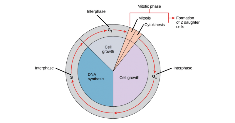 What Happens During Interphase Of A Cell Cycle? | Science ...