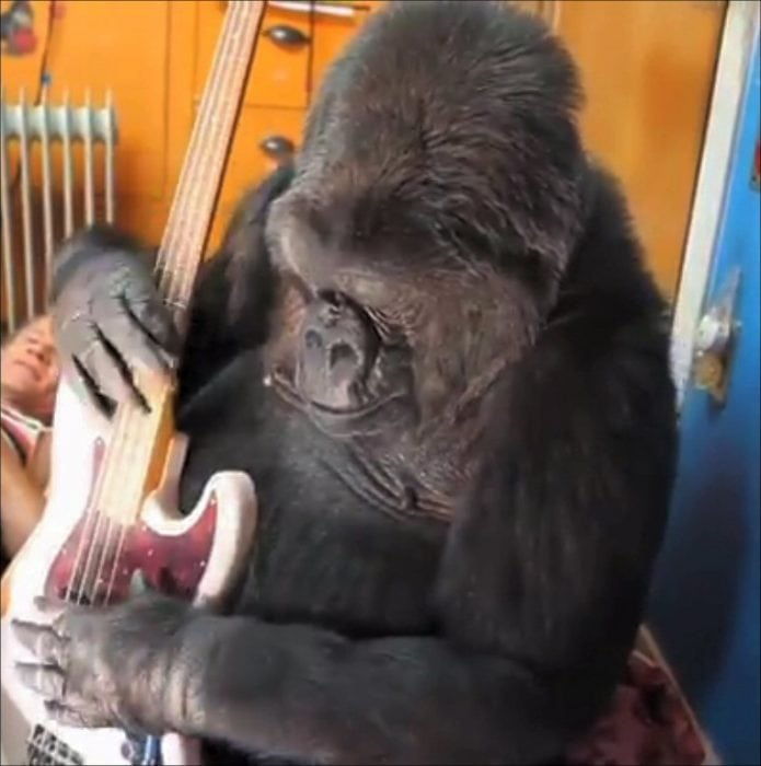 Koko plays with a guitar. Photo: FolsomNatural via Flickr, CC 2.0