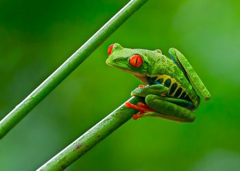 """""""Red-eyed Tree Frog"""" by Andy Morffew via Wikimedia Commons is licensed under the  Creative Commons Attribution 2.0 Generic license."""