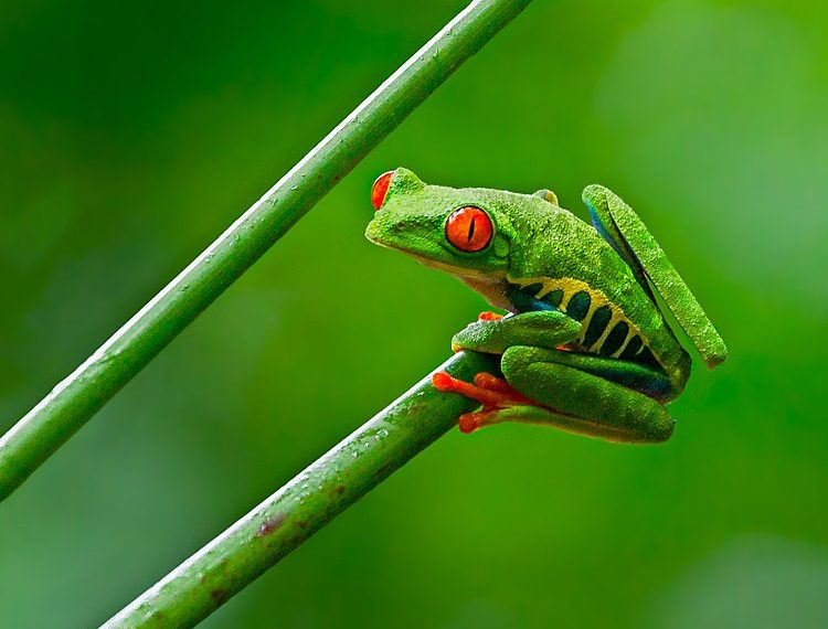 """Red-eyed Tree Frog"" by Andy Morffew via Wikimedia Commons is licensed under the  Creative Commons Attribution 2.0 Generic license."