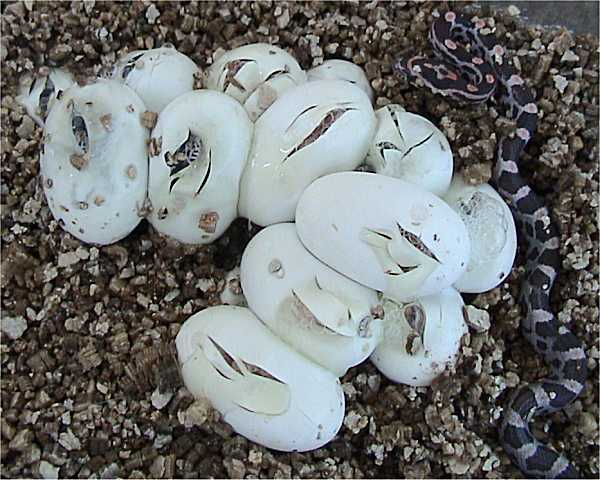Snake Eggs How To Identify With Pictures Science Trends