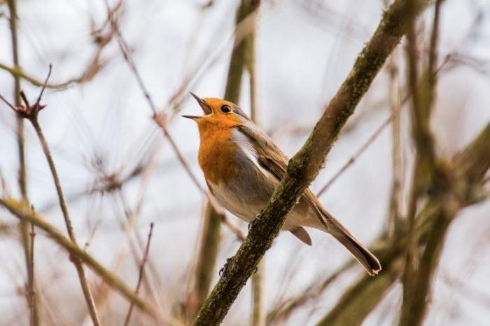 Bird call (Credit: Pxhere.com)