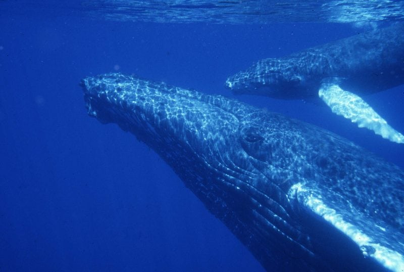 Humpback whale mother and calf in waters off Maui, Hawaii, (c) The Dolphin Institute, NMFS Scientific Permit 1071
