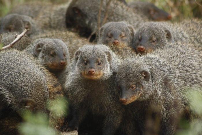 Banded mongoose group Credit: Faye Thompson