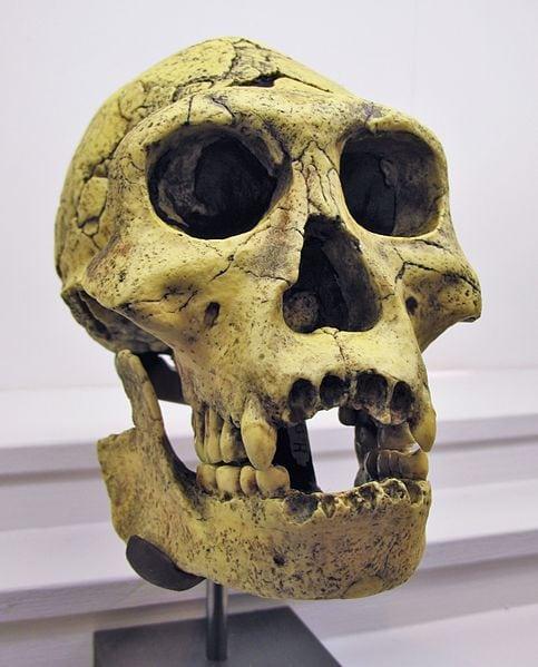 A Homo erectus skull found at Dmanisi. Photo: Rama via Wikimedia Commons, Public Domain