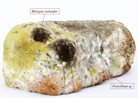 Bread Mold: How To Identify Types Of Mold | Science Trends