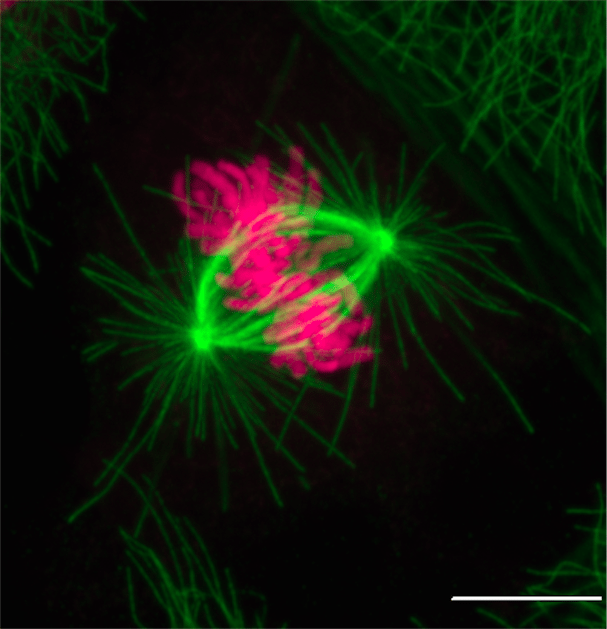 Mitotic Cell. Credit: Gary J. Gorbsky