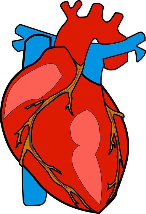 Anatomical Heart: Learn The Heart Through Illustrations | Science Trends