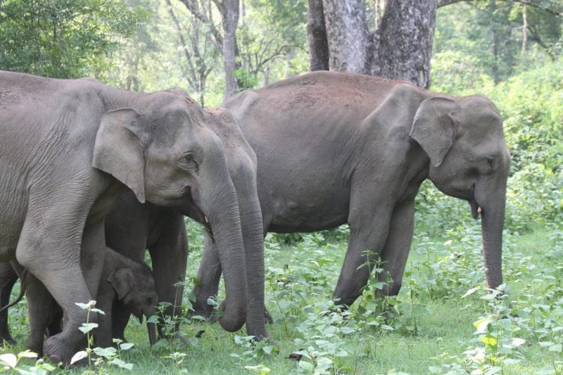 Photo by T.N.C. Vidya, (c) Kabini Elephant Project